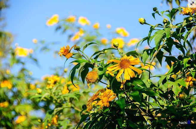 Du lịch Mộc Châu ngắm hoa dã quỳ