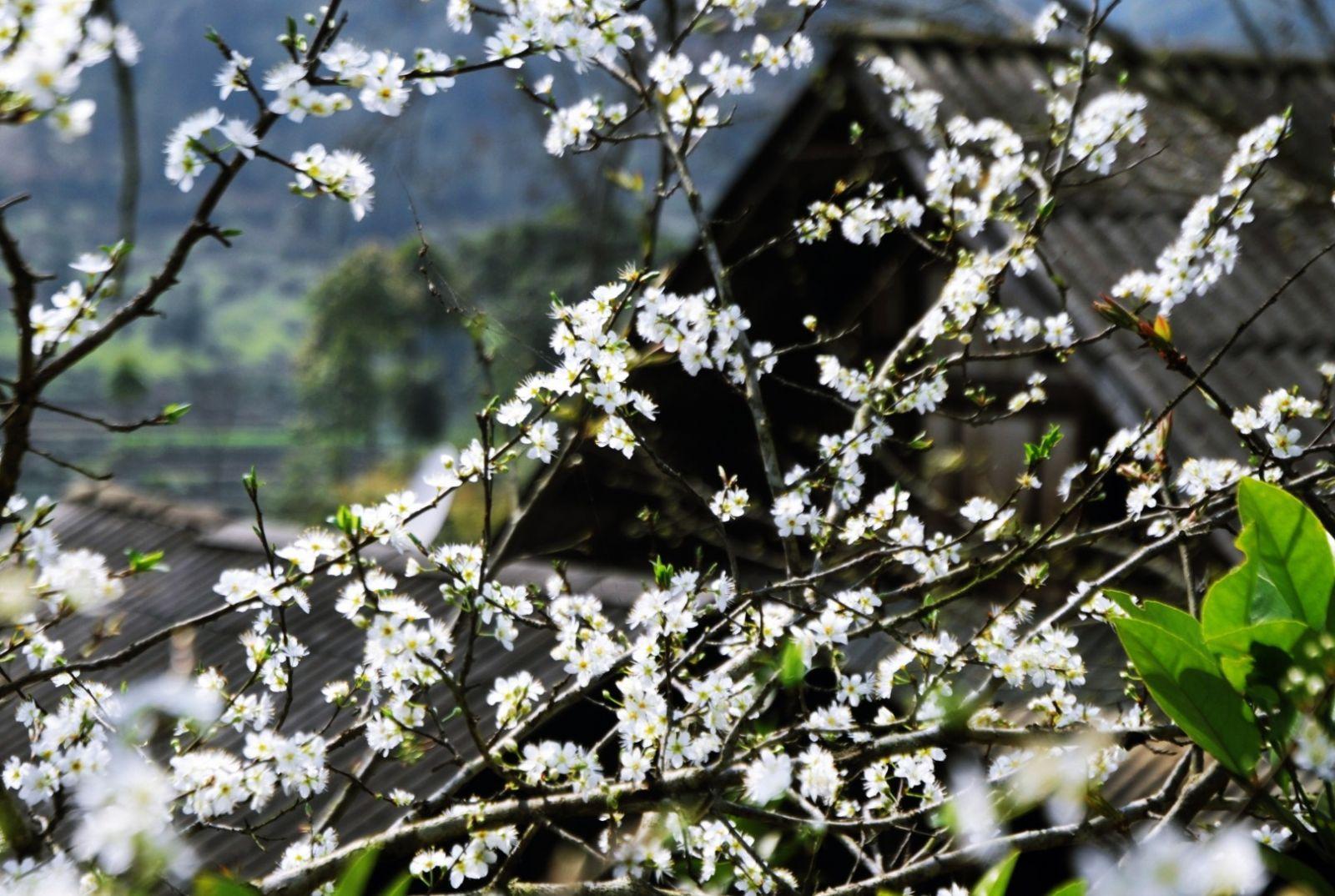 Những bông hoa ban trắng mướt, tinh khôi trong sương sớm